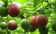 """百香果:水果中的""""药王"""",吃1"""